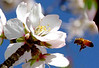 Almond Blossom with a Honey bee. I shot this in my front yard and won a prize with it in the county fair.