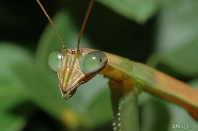 """Praying Mantis.  He seems to be giving me the look of  """"get that camera out of my face"""""""