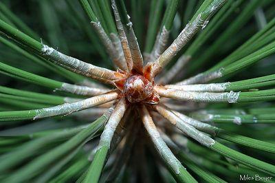 Pine needles.