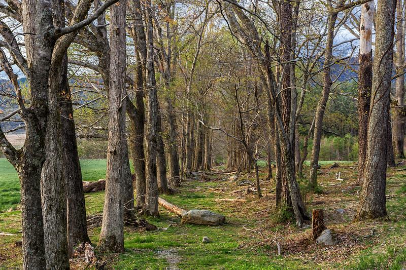 Trees Line a Forgotten Driveway - Cades Cove