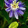 Passion Flower - Cades Cove