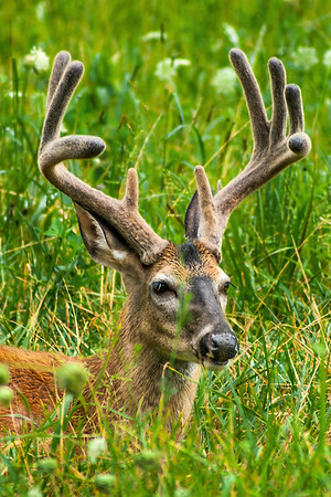 Deer - Cades Cove -  The Great Smoky Mountains National Park