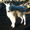 Denver goat