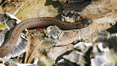 North American Brown Snake