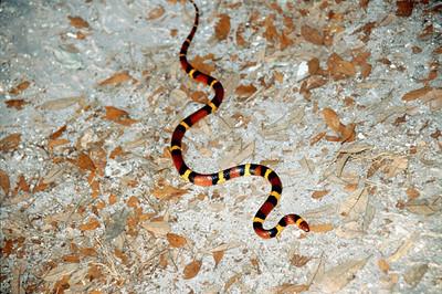 Scarlet Snake