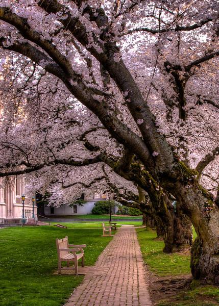 UW Quad - Cherry Blossems