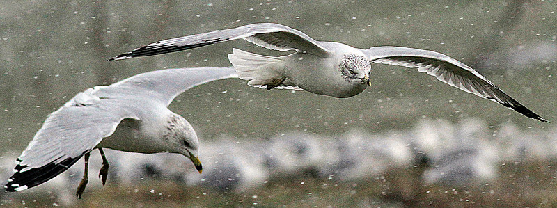 12/12/2010 Seagulls landing in the wind and snow near Spitzer Marina in Lorain. Photo by Tom Mahl