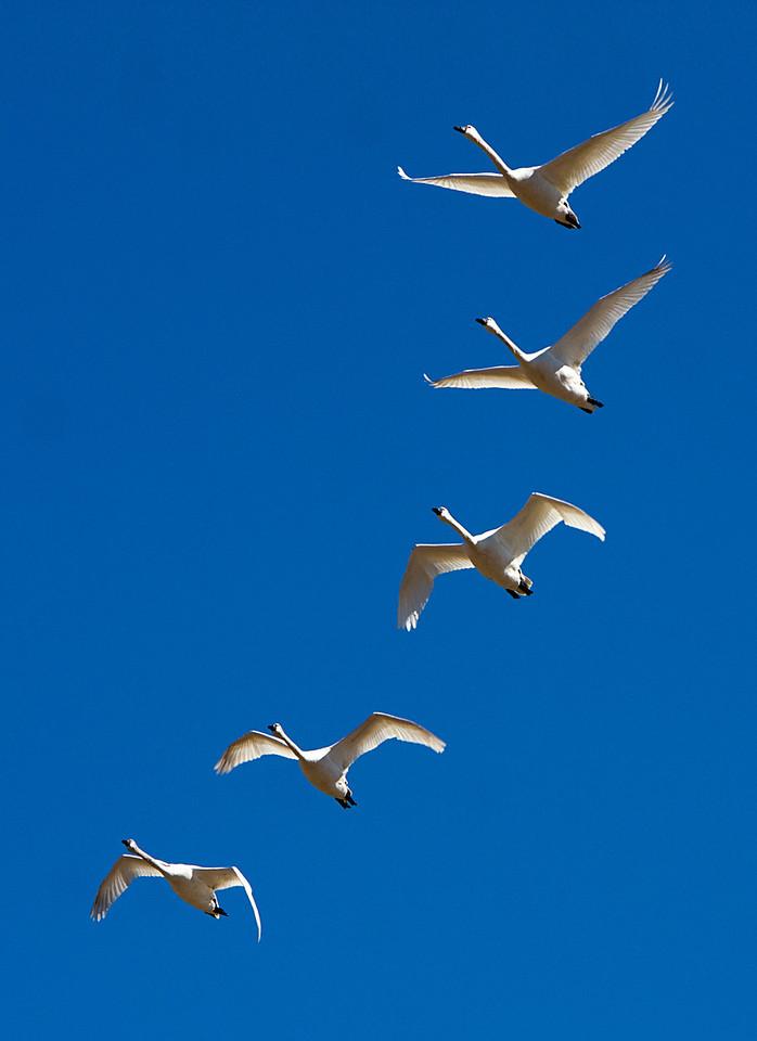 A-04《大遷徙》(賓州雪雁、天鵝Snow Goose)