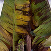 a variegated banana tree has gasped its last breath.