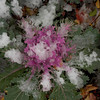 ornamental cabbage on ice