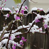 bougainvillaea laced with snow