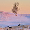 Morning graze, Study 4<br /> Allegan County, MI