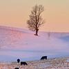Morning graze, Study 4<br /> Allegan County, MI