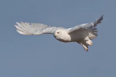 #1155 Snowy Owl