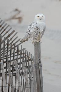 #894 Snowy Owl