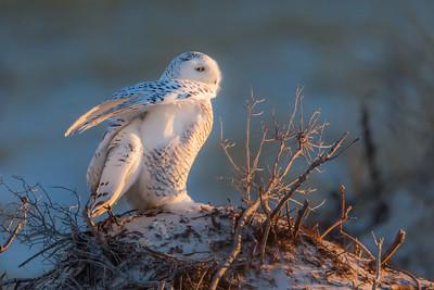 Snowy Owl 4179