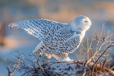 #513 Snowy Owl 4112
