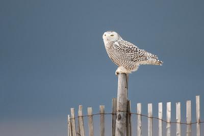 #945 Snowy Owl