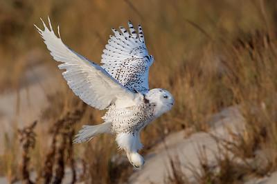#840 Snowy Owl
