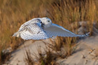 #839 Snowy Owl