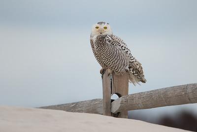 #896 Snowy Owl