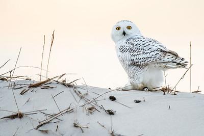Snowy Owl 2581