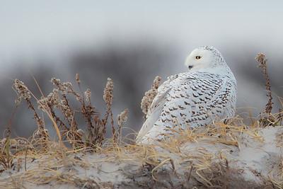 #510 Snowy Owl 3259