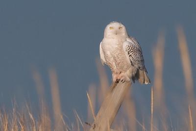 #907 Snowy Owl