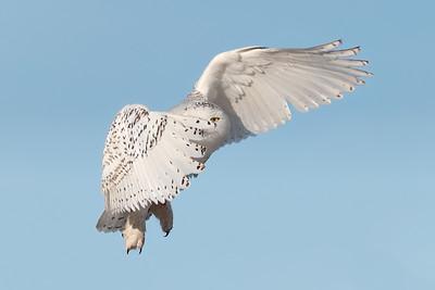 #925 Snowy Owl