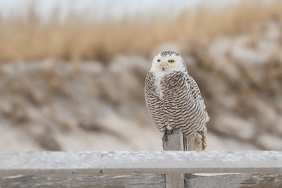 #902 Snowy Owl