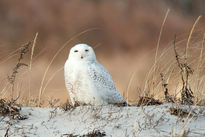 #435x Snowy Owl on Brown II