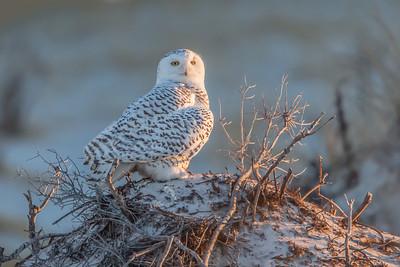 #507 Snowy Owl 4194