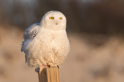 #921 Snowy Owl