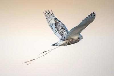 Snowy Owl 1816