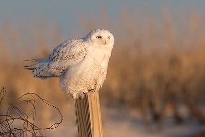 #912 Snowy Owl