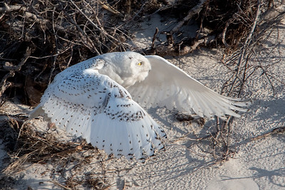 #714 Snowy Owl Takeoff