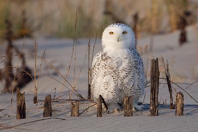 #838 Snowy Owl