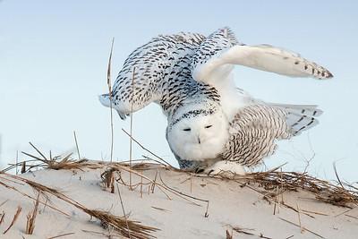 #419 Snowy Owl