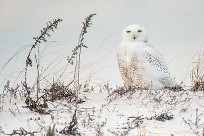 Snowy Owl 6774