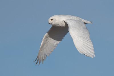 #1157 Snowy Owl