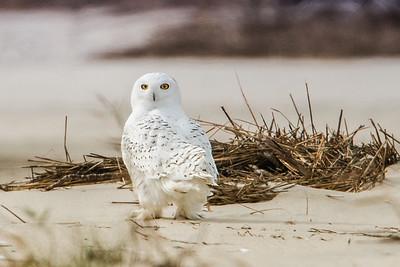 #489x Snowy Owl 1690D