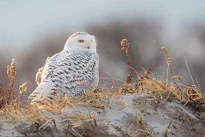#311 Snowy Owl 3319