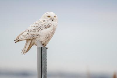 #433x Cattus Island Snowy Owl