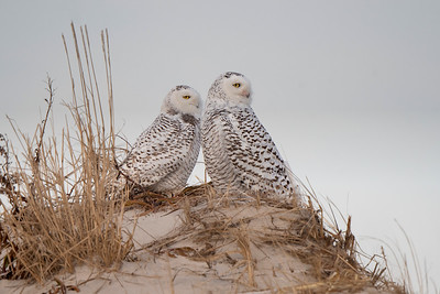 #1092 Two Snowy Owls