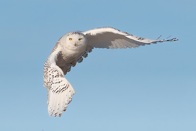 929 Snowy Owl