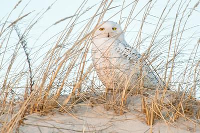 Sunny Snowy Owl 7832