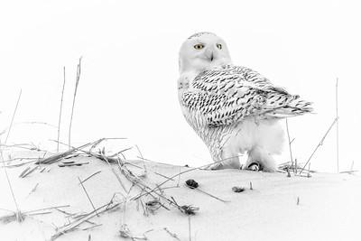 Snowy Owl 2578
