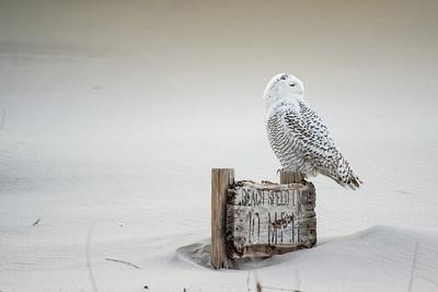 """#406  Snowy Owl """"10 MPH"""""""