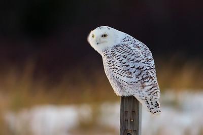 #886 Snowy Owl