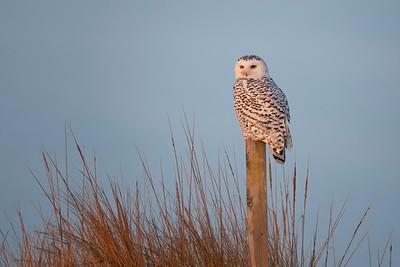 #1086 Snowy Owl